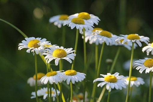 Daisies, Flowers, Nature, Summer, White, Outdoor