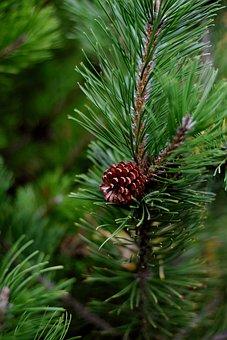 Pine, Siberian Dwarf Pine, Conifer, Pine Green