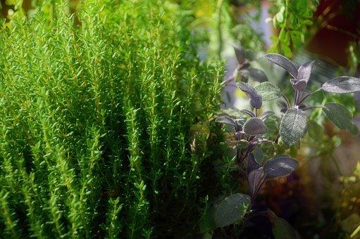 Plant, Medieval, Medieval Times, Herbalism, Thyme