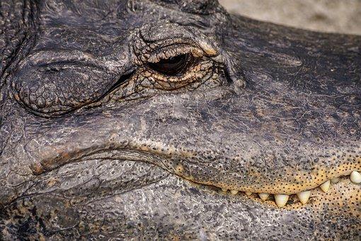 Alligator, Reptile, Missisipi Aligator, Predator