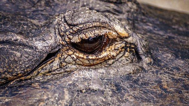 Eyes, Alligator, Reptile, Missisipi Aligator, Predator