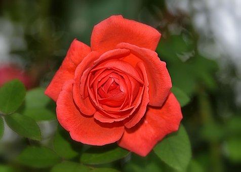 Rose, Noble, Red, Flower, Romantic, Blossom, Bloom