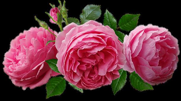 Roses, Pink, Arrangement, Garden, Nature