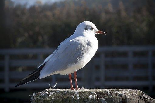 Seagull, Investors, Mole, Feather, Water, Lake