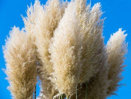 Grasses, Selloana, Ornamental Plant, Specimen Plant