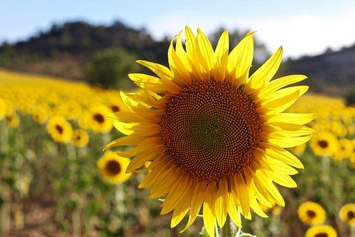Sunflower, Sun, Plants, Fields, Plant, Nature