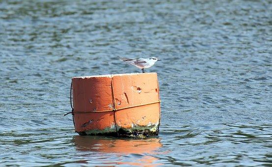 Bird, Wild, Wildlife, Migratory, Little, Tern, Perched
