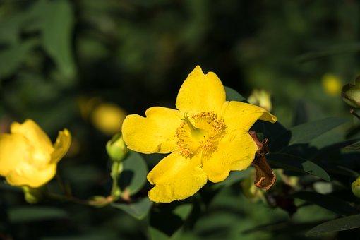 Translucent Poppy, Flower, Blossom, Bloom