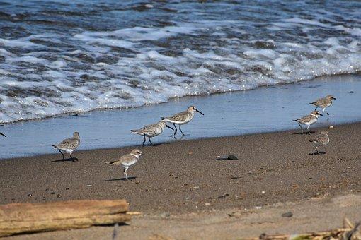 Animal, Sea, Beach, Wave, Bird, Wild Birds, 旅鳥, Fields