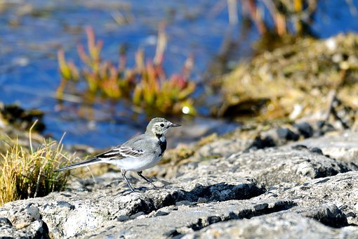 White Wagtail, Songbird, Bird, Wippschwanz