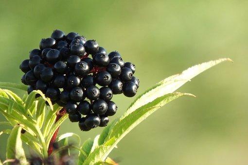 Jagoda, Black, Mature, Without, Plants
