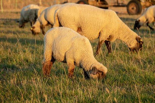 Sheep, Pasture, Lamb, Animals, Flock, Wool, Nature