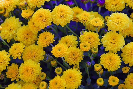 Yellow Chrysanthemum, Chrysanthemums, Bloom, Autumn