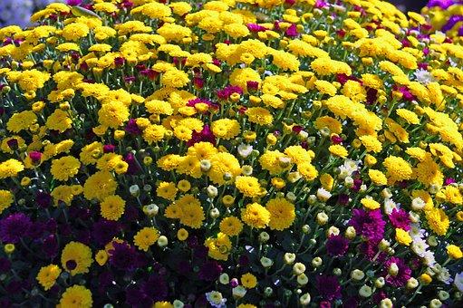 Yellow Chrysanthemum, Chrysanthemums, Bloom, Autumn