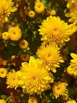 Autumn, Wood, Nature, Garden, Chrysanthemum, Yellow