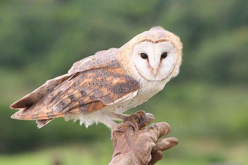 Barn Owl, Bird, Owl, Animal, Nature, Raptor, Wildlife
