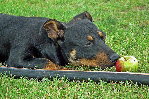 Dog, Animals, Apple, Portrait, Grass, Garden, Fun, Dark