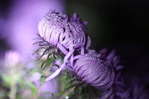 Autumn, Dew, Drip, Dewdrop, Morgentau, Asters, Purple