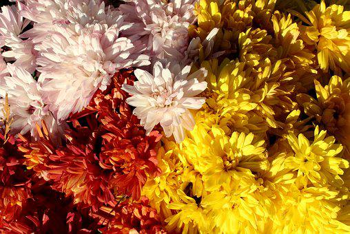 Chrysanthemum, Colorful, Autumn Flowers, In The Fall