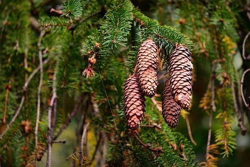 Pine Cone, Pine Tree, Needle, Conifer, Autumn, Fruit