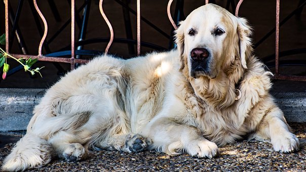 Golden Retriever, Dog, Canine, Pet, Animal, Beauty