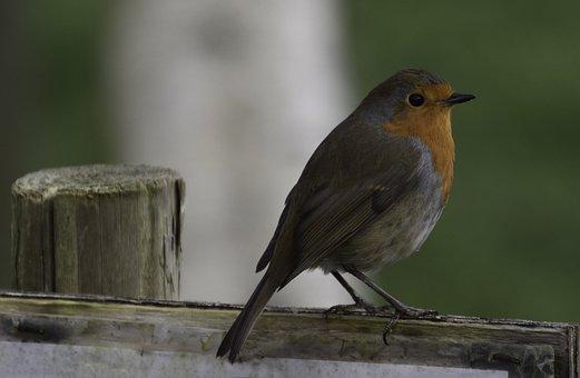 Robin, Bird, Nature, Songbird, Spring, Red, Branch