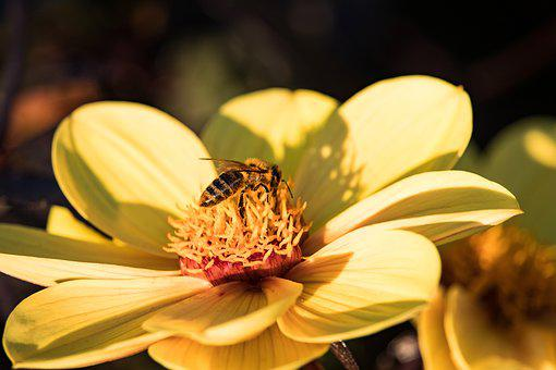 Bee, Insect, Animal, Honey Bee, Nectar, Blossom, Bloom