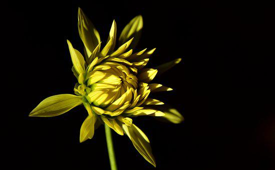 Dahlia, Bud, Blossom, Bloom, Yellow, Bright, Erblühend