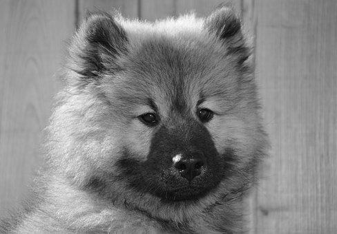 Dog, Dog Eurasier, Photo Black White, Portrait Puppy