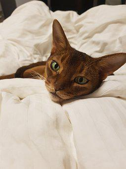 Cat, Abyssinian, Dream, Animals, Fur, Shorthair