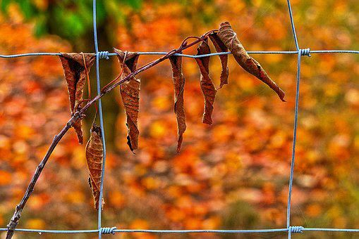 Leaf, Cherry Sheets, Fence, Cherry, Dry, Autumn, Leaves