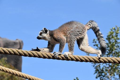 Lemur, Maki Catta, Stripes, Eyes, Madagascar, Nature