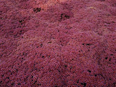 Chrysanthemums, Field, Pink, Autumn, Nature, Garden