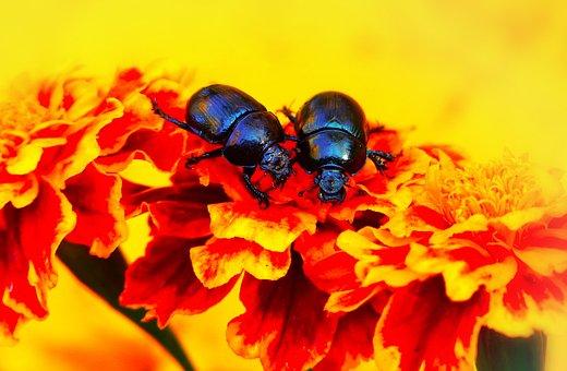 Beetles Forest, The Beetles, Flower, Marigold, Animals