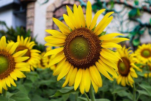 Sunflower, Blossom, Bloom, Field, Summer, Day, Flower