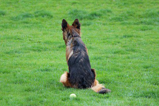 German Shepherd, Dog, Ball, Pet, Friend, Cute, Canine