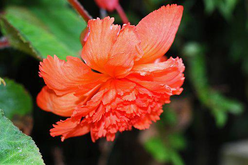 Begonia, Summer Flower, Blossom, Bloom, Garden, Flower