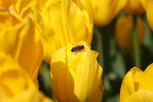 Tulips, Bee, Flower, Garden, Plants, Petals, Insect