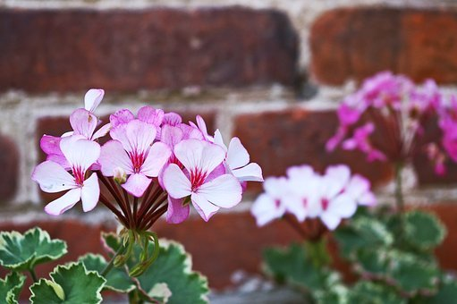 Geranium, Summer Flower, Blossom, Bloom, Plant