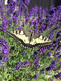 Lavender, Makaon, Butterfly, Garden, Insect, Flowers