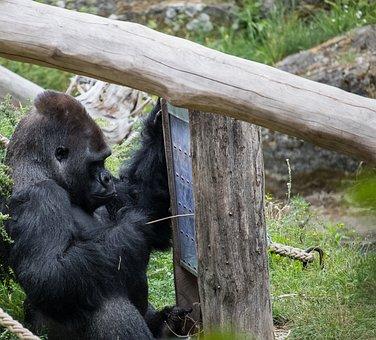 Gorilla, Mammal, Animal, Animal World, Nature, Powerful