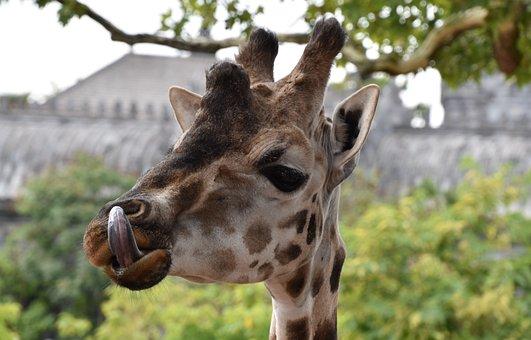Giraffe, Nature, Animal, Africa, Wild, Head, Mammal