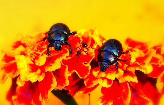 Beetles Forest, The Beetles, Ant Red, Marigold, Animals