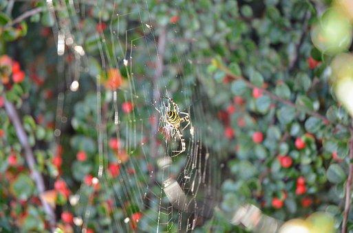 Darázspók, Nature, Web, Spider, Autumn, Animals, Eight