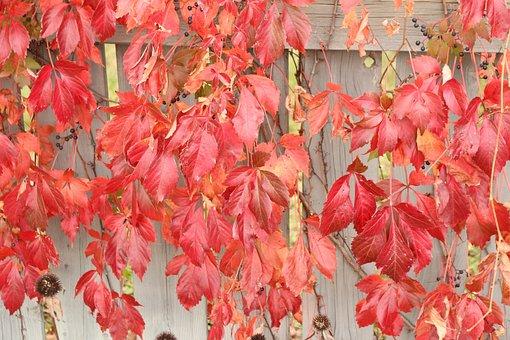 Fall, Vine, Vegetation, Autumn, Plants, Nature, Red