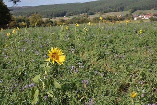 Sunflower, Nature, Flower, Sunflower Field, Yellow