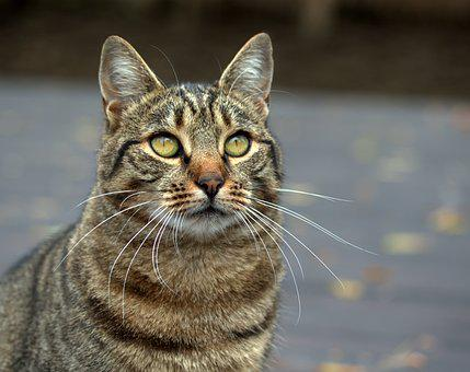Cat, Gray, Domestic, Pet, Nice, Fluffy