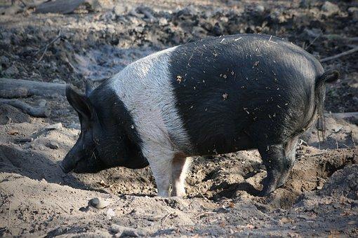 Pet, Domestic Pig, Mud, Pig