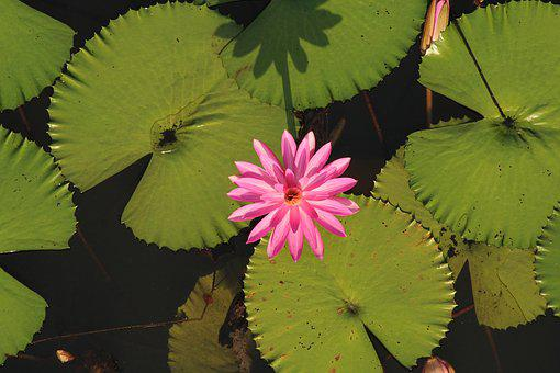 Water Lily, Lotus, Flower, Nature, Pink, Blossom, Lily