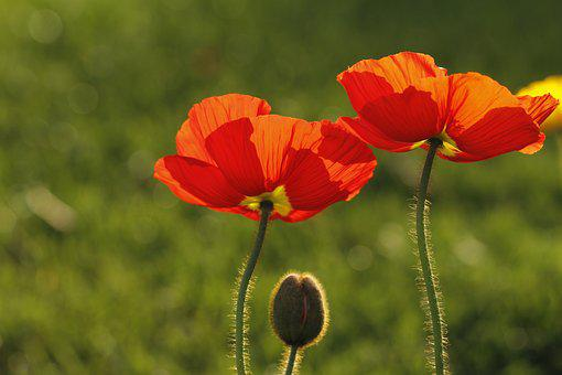 Poppies, California, Orange, Native, Plant, Flowers